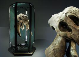 Puglisi Collection: Kamposi Magnus Skull